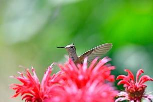 ホバリングをして花の上に顔を出すハチドリの写真素材 [FYI03119825]