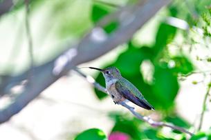 枝にとまり舌を出すハチドリの写真素材 [FYI03119826]