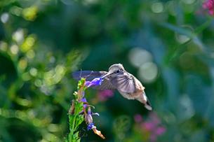 紫の花から蜜を吸うハチドリの写真素材 [FYI03119827]
