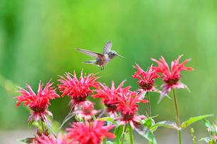 ホバリングをして空中停止する姿勢から花に近づこうとするハチドリの写真素材 [FYI03119828]