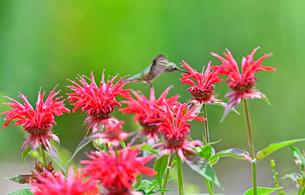 ホバリングをして空中停止する姿勢から花にクチバシを差し込んで蜜を吸うハチドリの写真素材 [FYI03119829]