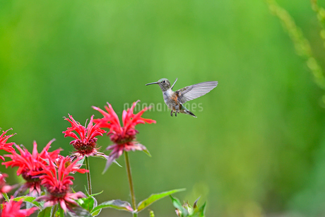 ホバリングをして空中停止して花の上を飛ぶハチドリの写真素材 [FYI03119841]