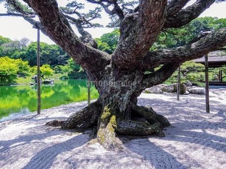 徳川家拝領の盆栽が大きく育った「根上り五葉松」 栗林公園 の写真素材 [FYI03119843]