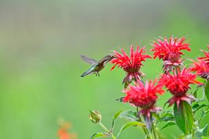 ホバリングをして空中停止する姿勢から花にクチバシを差し込んで蜜を吸うハチドリの写真素材 [FYI03119847]
