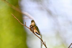 枝にとまって羽繕いをするハチドリの写真素材 [FYI03119856]