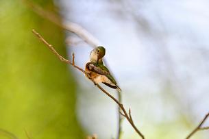 枝にとまって羽繕いをするハチドリの写真素材 [FYI03119857]
