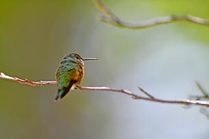枝にとまり小休止をしているハチドリの写真素材 [FYI03119858]