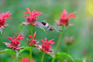 ホバリングして蜜を吸う花を選んでいるハチドリの写真素材 [FYI03119859]