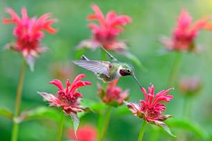 ホバリングをして空中停止する姿勢から花にクチバシを差し込んで蜜を吸おうとするハチドリの写真素材 [FYI03119860]