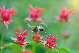 ホバリングをして空中停止する姿勢から花にクチバシを差し込んで蜜を吸おうとしているハチドリの写真素材 [FYI03119861]