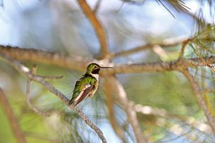 木の枝にとまって涼をとるハチドリの写真素材 [FYI03119862]