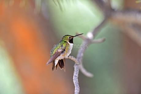 お気に入りの枝にとまって涼をとるハチドリの写真素材 [FYI03119863]