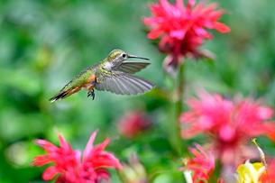 ホバリングをして空中停止する姿勢から花に近づこうとしているハチドリの写真素材 [FYI03119864]