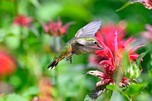 ホバリングをして空中停止する姿勢から赤い花にクチバシを差し込んで蜜を吸うハチドリの写真素材 [FYI03119865]