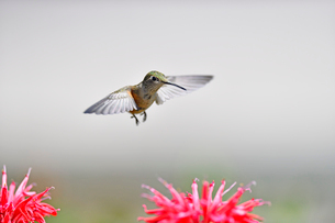 花の上をホバリングしながらどの花に向かおうか迷っているハチドリの写真素材 [FYI03119868]