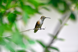 木の枝にとまり周りを見回すハチドリの写真素材 [FYI03119869]