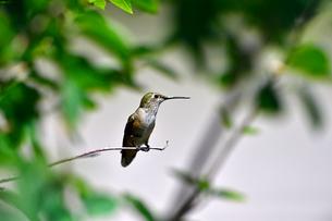 枝にとまって周りの様子をみているハチドリの写真素材 [FYI03119870]