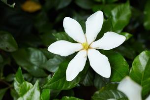 くちなしの花の写真素材 [FYI03119883]