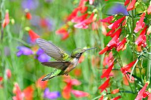 ホバリングをして空中停止する姿勢から長いベル状の花にクチバシを差し込んで蜜を吸おうとしているハチドリの写真素材 [FYI03119976]