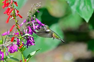ホバリングをして空中停止する姿勢から長いベル状の花にクチバシを差し込んで蜜を吸うハチドリの写真素材 [FYI03119977]