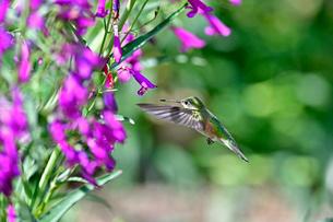 ホバリングをして空中停止する姿勢から長いベル状の花にクチバシを差し込んで蜜を吸おうとしているハチドリの写真素材 [FYI03119979]