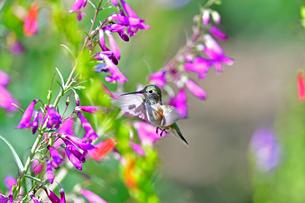 ホバリングをして空中停止する姿勢から長いベル状の花にクチバシを差し込んで蜜を吸おうつしているハチドリの写真素材 [FYI03119980]