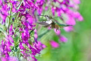 ホバリングをして空中停止する姿勢から長いベル状の花にクチバシを差し込んで蜜を吸おうとしているハチドリの写真素材 [FYI03119981]