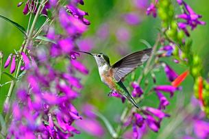 ホバリングをして空中停止する姿勢から長いベル状の花にクチバシを差し込んで蜜を吸おうとしているハチドリの写真素材 [FYI03119982]