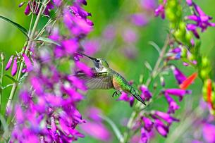 ホバリングをして空中停止する姿勢から長いベル状の花にクチバシを差し込んで蜜を吸うハチドリの写真素材 [FYI03119983]