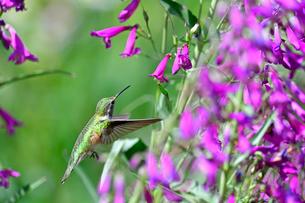 ホバリングをして空中停止する姿勢から長いベル状の花にクチバシを差し込んで蜜を吸おうとするハチドリの写真素材 [FYI03119985]