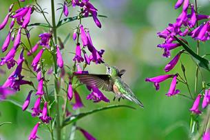 ホバリングをして空中停止する姿勢から長いベル状の花にクチバシを差し込んで蜜を吸うハチドリの写真素材 [FYI03119986]