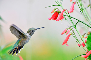 ホバリングをし空中に停止する姿勢から長いベル状の花にクチバシを差し込んで蜜を吸おうとするハチドリの写真素材 [FYI03119987]