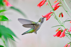 ホバリングをし空中に停止する姿勢から長いベル状の花にクチバシを差し込むようにして蜜を吸うハチドリの写真素材 [FYI03119988]