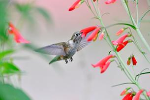 ホバリングをし空中に停止する姿勢から長いベル状の花にクチバシを差し込むようにして蜜を吸うハチドリの写真素材 [FYI03119989]