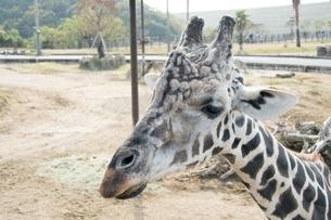 キリンの 顔の写真素材 [FYI03120107]