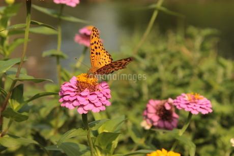《昆虫》蜜を吸うヒョウモンチョウの写真素材 [FYI03120280]