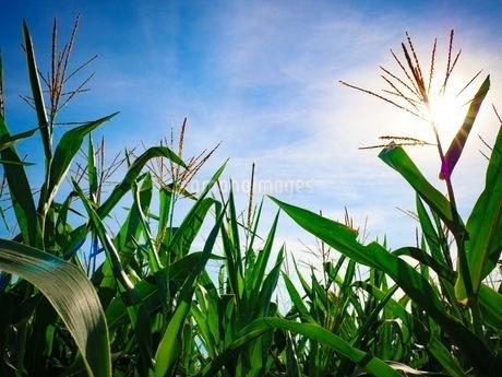 夏のトウモロコシ畑の写真素材 [FYI03120372]