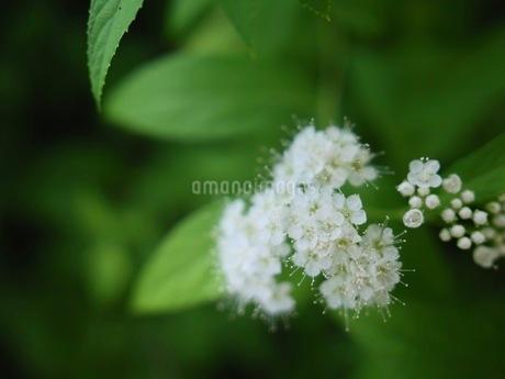 白いシモツケの花の写真素材 [FYI03120376]