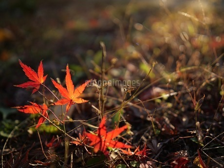 紅葉の落ち葉の写真素材 [FYI03120382]