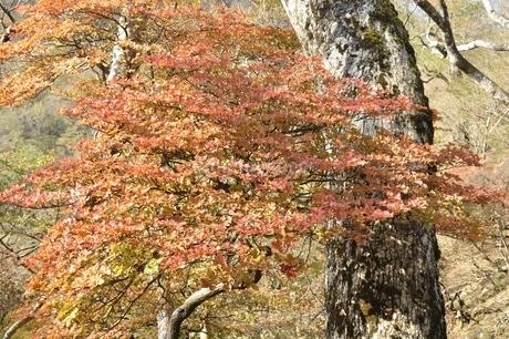 秋色のツツジの葉の写真素材 [FYI03120385]