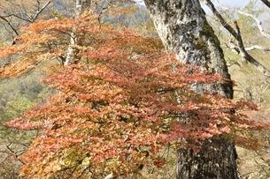 秋色のツツジの葉の写真素材 [FYI03120386]