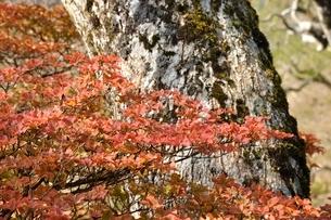 秋色のツツジの葉の写真素材 [FYI03120387]