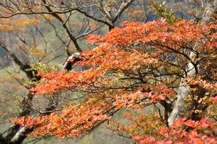 秋色のツツジの葉の写真素材 [FYI03120388]