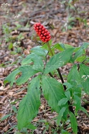 マムシグサの赤い果実の写真素材 [FYI03120395]