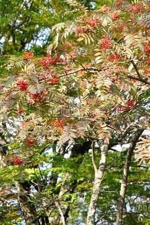 ナナカマドの赤い実の写真素材 [FYI03120407]