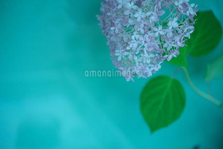 紫陽花 緑バック 花写真 素材の写真素材 [FYI03120428]