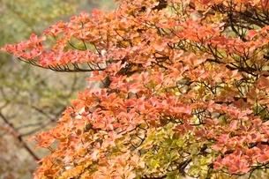 秋色のツツジの葉の写真素材 [FYI03120502]
