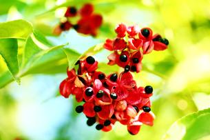 ゴンズイの袋果と種子の写真素材 [FYI03120514]
