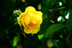 バラ・マリーゴールドの花の写真素材 [FYI03120529]