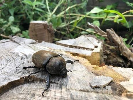 カブトムシ雌の写真素材 [FYI03120545]